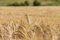 Cosecha de maíz del trigo en Ucrania Imagenes de archivo