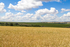 Cosecha de maíz del trigo en Ucrania Fotos de archivo