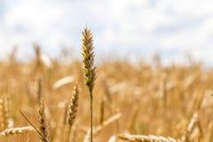 Cosecha de maíz del trigo en Ucrania Foto de archivo