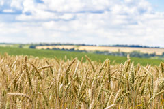 Cosecha de maíz del trigo en Ucrania Imagen de archivo