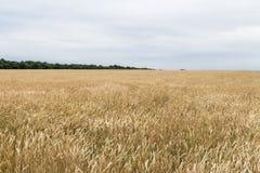 Cosecha de maíz del trigo en Ucrania Foto de archivo libre de regalías