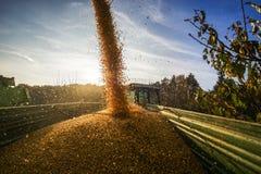 Cosecha de maíz en otoño con el cielo azul Imagen de archivo