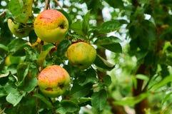 Cosecha de manzanas imagen de archivo libre de regalías