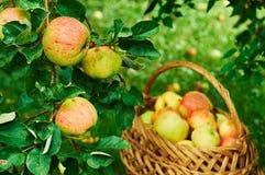 Cosecha de manzanas imagen de archivo