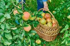 Cosecha de manzanas imagenes de archivo
