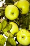 Cosecha de manzanas en el árbol Imagen de archivo libre de regalías