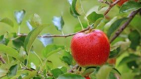 Cosecha de manzanas en el manzanar metrajes