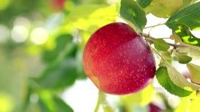 Cosecha de manzanas en el manzanar almacen de metraje de vídeo