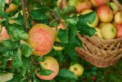 Cosecha de manzanas en el país fotos de archivo