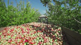 Cosecha de manzanas La fruta madura se recoge en un envase de madera almacen de metraje de vídeo