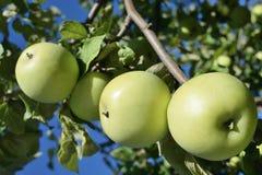 cosecha de manzanas maduras verdes fotografía de archivo