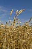 Cosecha de oro alta del trigo que sopla en el viento Fotos de archivo