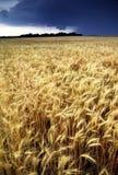 Cosecha de oro del trigo amenazante por tempestad de truenos del verano Imagenes de archivo