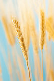 Cosecha de oro orgánica del trigo Foto de archivo