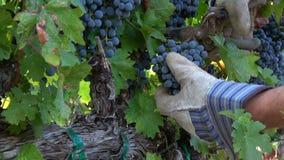 Cosecha de racimos maduros de la uva de Cabernet almacen de video