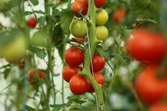 Cosecha de tomate Fotos de archivo libres de regalías