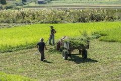 Cosecha de trigo cerca de Berat, Albania Fotos de archivo