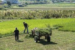 Cosecha de trigo cerca de Berat, Albania Imagen de archivo libre de regalías
