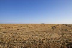 Cosecha de trigo, cereales Imagen de archivo