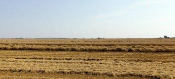 Cosecha de trigo, cereales Fotografía de archivo libre de regalías