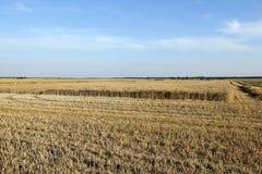 Cosecha de trigo, cereales Imagen de archivo libre de regalías
