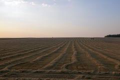 Cosecha de trigo, cereales Foto de archivo