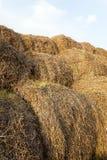 Cosecha de trigo, cereales Fotografía de archivo