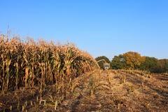 Cosecha de trigo en el campo Imagenes de archivo