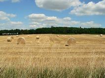 Cosecha de trigo en verano tardío en tiempo hermoso Foto de archivo