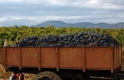 Cosecha de uvas en los viñedos Fotos de archivo libres de regalías