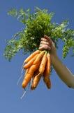Cosecha de zanahorias Fotografía de archivo libre de regalías