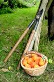 Cosecha del albaricoque Foto de archivo libre de regalías
