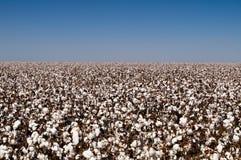 Cosecha del algodón Fotografía de archivo