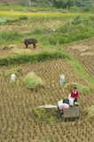 Cosecha del arroz fotografía de archivo