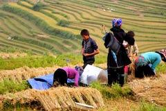 Cosecha del arroz Imagen de archivo