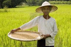 Cosecha del arroz Fotografía de archivo libre de regalías