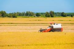 Cosecha del arroz Fotos de archivo libres de regalías
