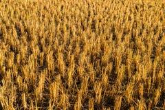 Cosecha del arroz Foto de archivo