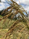Cosecha del arroz pegajoso fotos de archivo