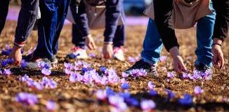 Cosecha del azafrán en el otoño Fotos de archivo