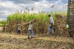Cosecha del campo de la caña de azúcar, provincia de Tay Ninh, Vietnam Fotos de archivo libres de regalías