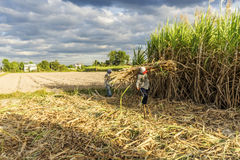Cosecha del campo de la caña de azúcar, provincia de Tay Ninh, Vietnam Imagen de archivo libre de regalías
