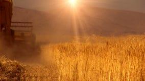 Cosecha del campo de trigo almacen de video
