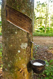 Cosecha del caucho natural Foto de archivo