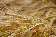 Cosecha del cereal del verano Fotografía de archivo libre de regalías