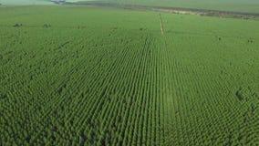 Cosecha del eucalipto en el día soleado - visión aérea en el Brasil almacen de video