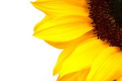 Cosecha del girasol Imagen de archivo libre de regalías