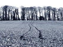 Cosecha del invierno de la violación de la semilla oleaginosa del rábano del aceite/del invierno en el Reino Unido foto de archivo
