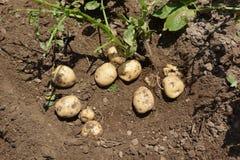 Cosecha del jardín/de la patata Imágenes de archivo libres de regalías