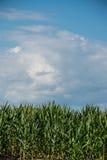 Cosecha del maíz Imágenes de archivo libres de regalías